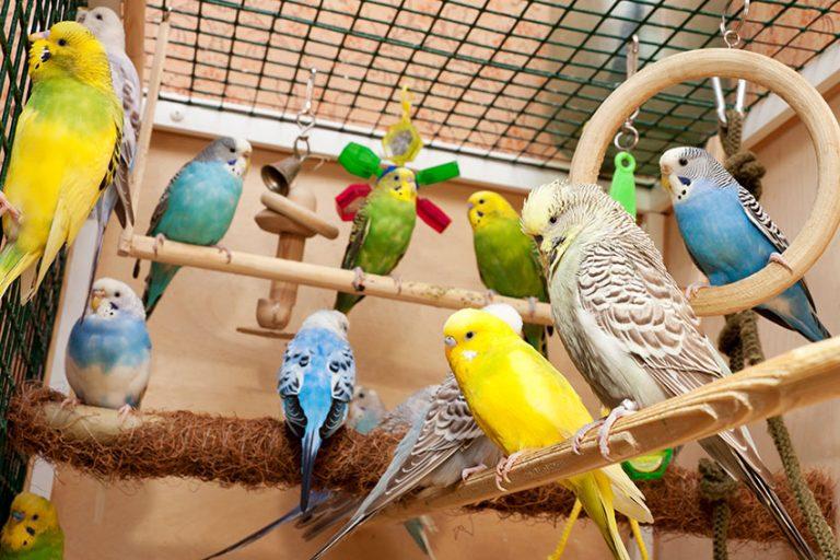 Budgie Parakeets Parakeets Galore