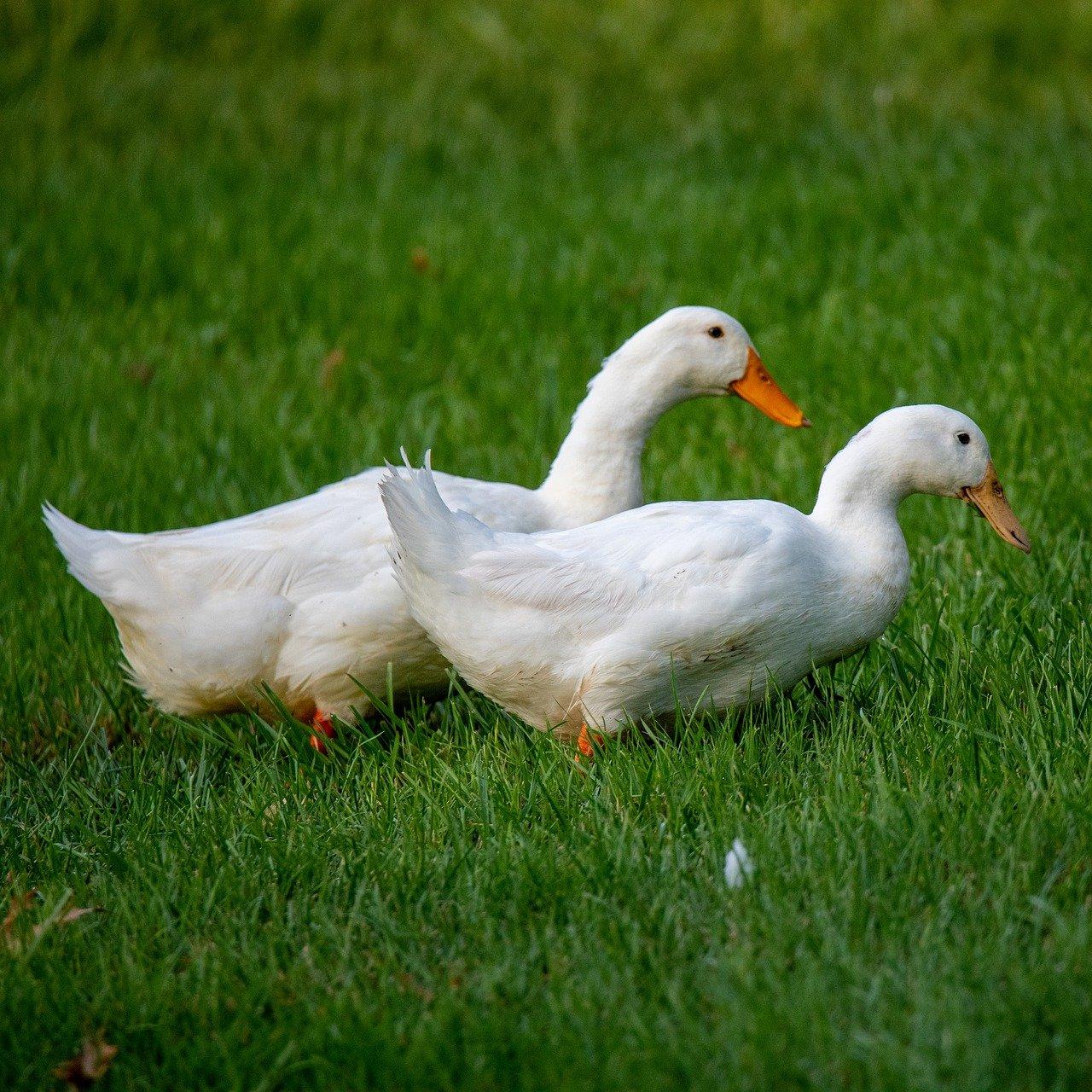 Ducks Quacky